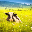 Cows grazing on a green summer meadow — Stock Photo #16035247