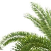 绿色棕榈 — 图库照片
