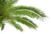 Palma verde — Foto Stock