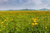 Yellow flowers field with white cloud — Stock Photo