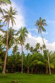 Coco trees — Stock Photo