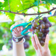 Pick up ripe grape in Vineyards — Stock Photo #29886075