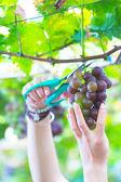 Pick up ripe grape in the Vineyards — Stock Photo