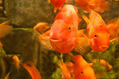 Pez rojo — Foto de Stock