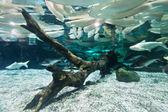 Fishes floating in aquarium — Stock Photo