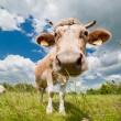 Happy and nosy cow in ecological farm — Stock Photo