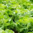 Fresh green salad lettuce — Stock Photo