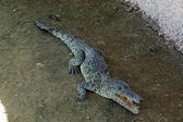 Krokodyl młody — Zdjęcie stockowe