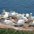 Northern gannets — Foto de Stock