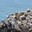 Northern gannets - Stock Photo