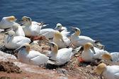 Northern gannets — Stock Photo