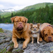 Three dogs at the mountain river bank, Norway — Stock Photo #12563270