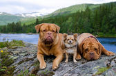 Three dogs at the mountain river bank, Norway — Stock Photo
