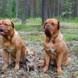 Stock Photo: Three dogs in the forest