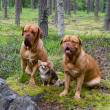 Stock Photo: Group of dogs in the forest