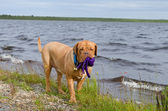 Dog holding a toy at the bank of the lake — Стоковое фото