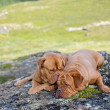 Two dogs lying in Norwegian mountains — Stock Photo