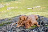 две собаки, лежа в норвежские горы — Стоковое фото