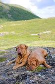 Couple of Dogue De Bordeaux in Norwegian mountains — Stock Photo
