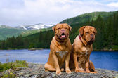 Dogue De Bordeaux couple against Norvegian landscape — Stock Photo
