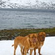 Two Dogues De Bordeaux against glacier, summer mountains, Norway - Stock Photo