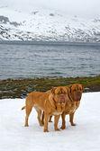 Two Dogues De Bordeaux against glacier, summer mountains, Norway — Stock Photo