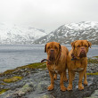 Stock Photo: French Mastiffs at mountains glacier, Northern Norway