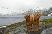 French Mastiffs at the mountains glacier, Northern Norway — Stock Photo