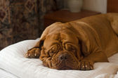 Dogue De Bordeaux sleeping in the bed — Stock Photo