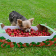 Tiny dog with a box of strawberries — Stock Photo