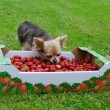 Stock Photo: Tiny dog with a box of strawberries