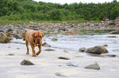 Dogue De Bordeaux walking along the beach, Bodoe, Norway — Stock Photo