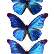 Three blue morpho - Stock Photo