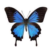 Papilio ulysses — Stock Photo