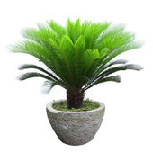 Sago cycad tree — Stock Photo
