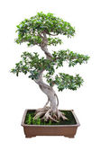 Bonsai banyan tree — Stock Photo