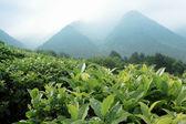 Čajové plantáže — Stock fotografie