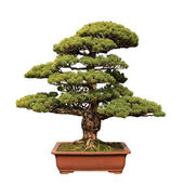 Green bonsai tree of pine — Stock Photo