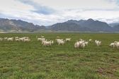 A flock of sheeps on grassland — Stockfoto