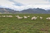 A flock of sheeps on grassland — Stock Photo