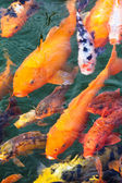 Variegated carp — Stock Photo