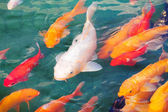 Beautiful koi fish — Stock Photo