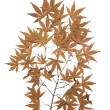 Maple herbarium isolated — Stock Photo
