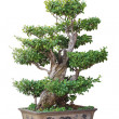 Stock Photo: Chinese bonsai tree