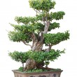 Chinese bonsai tree — Stockfoto