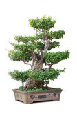 Chinese bonsai tree — Stock Photo