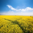 Stock Photo: Rapeseed field in spring