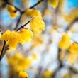Stock Photo: Wintersweet