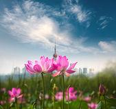 Lotus blommor i shanghai — Stockfoto