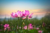 Flor de loto en puesta de sol — Foto de Stock